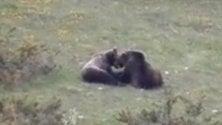 Tenerezze tra orsi nel Parco nazionale