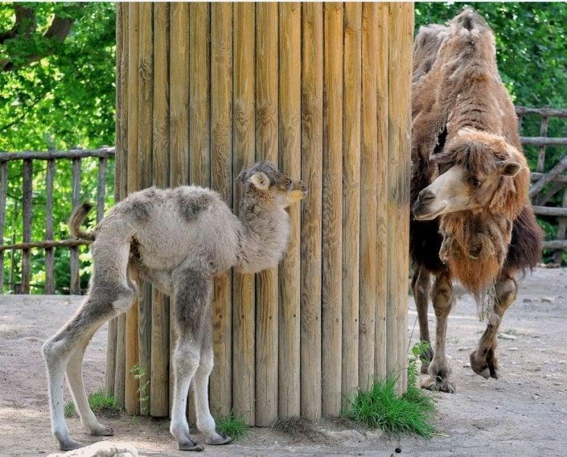 Bioparco, fiocco rosa speciale: è nata Prisca, cucciola di cammello