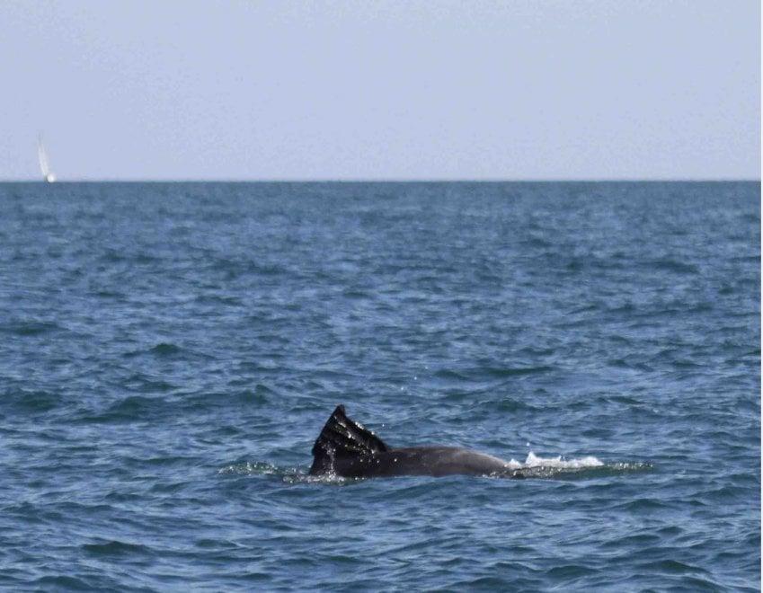 Ostia, delfino nuota con la busta dell'immondizia sulla pinna