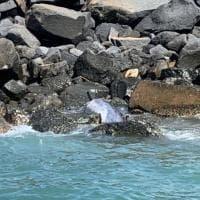 """Ostia, delfino trovato morto sugli scogli. Gli esperti: """"Non toccatelo, potrebbe essere..."""