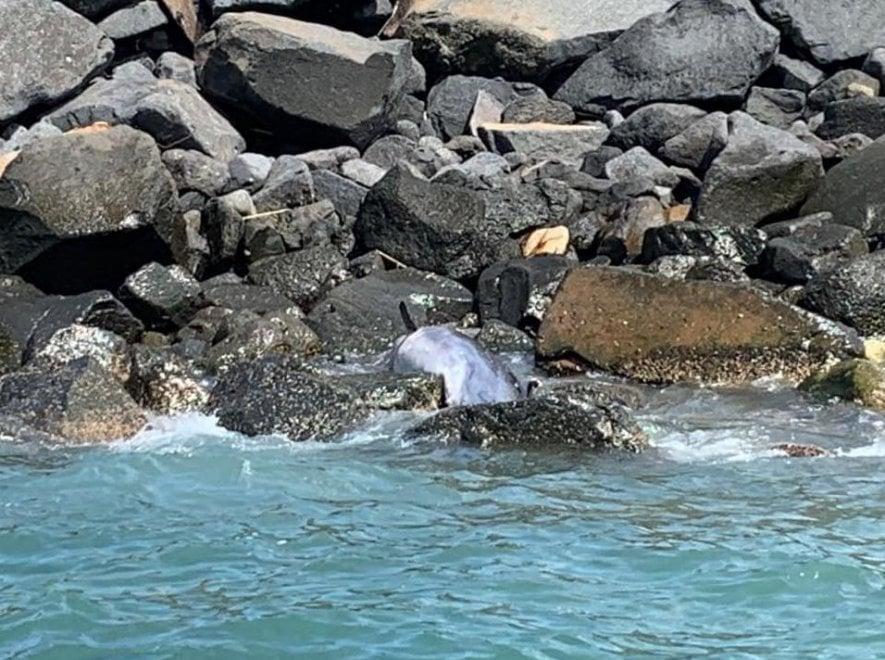 """Ostia, delfino trovato morto sugli scogli. Gli esperti: """"Non toccatelo, potrebbe essere portatore di patogeni trasmissibili all'uomo"""""""