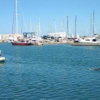 Ostia, recuperato il delfino trovato morto sugli scogli