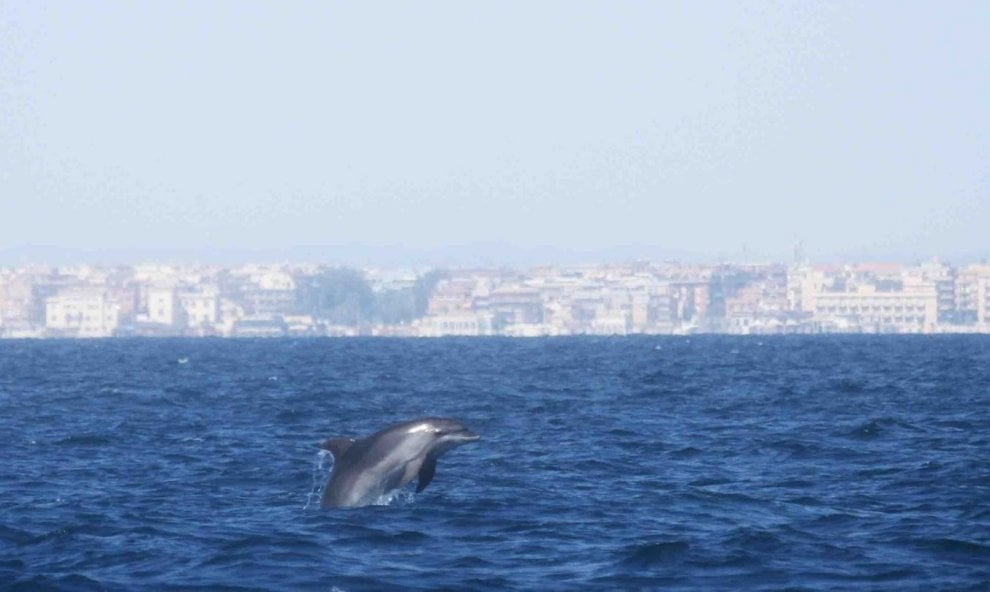 Ostia, nuovi avvistamenti di delfini: salti e piroette in mare con i cuccioli