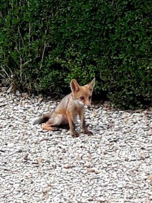 Roma, cuccioli di volpe nati a Villa Pamphilj: ecco Penny e Lupin