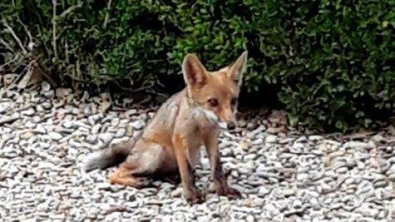 Non date da mangiare alle volpi di Villa Pamphilj
