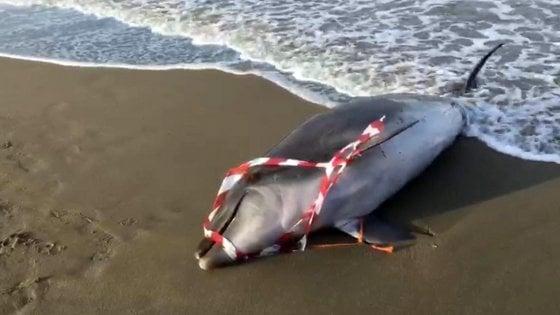 Ancora un delfino morto sul litorale del Lazio, nuovo caso a Focene