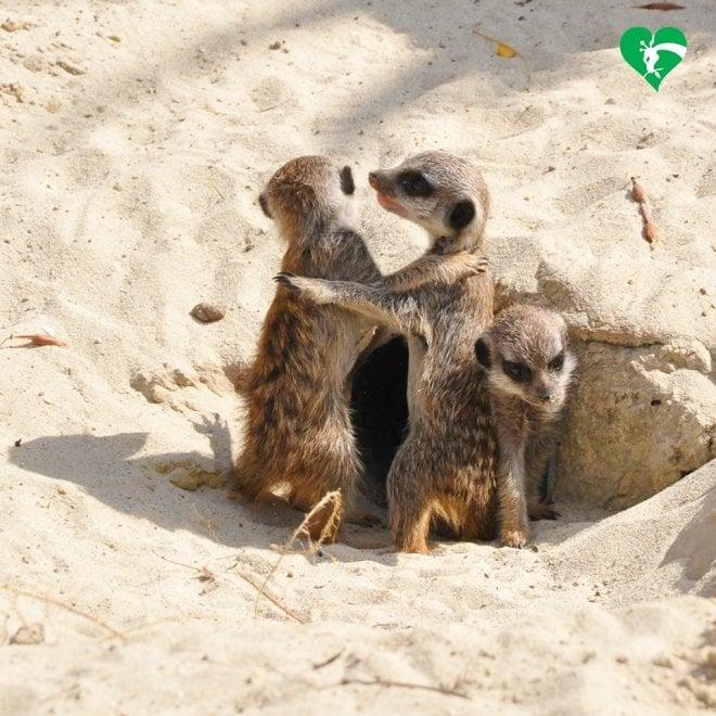 Nati quattro cuccioli di suricato: fiocchi rosa e azzurri al Bioparco di Roma