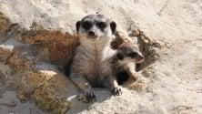 Nati al Bioparco i cuccioli di suricato