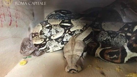 Boa constrictor lungo due metri trovato nello scantinato di un palazzo a Roma