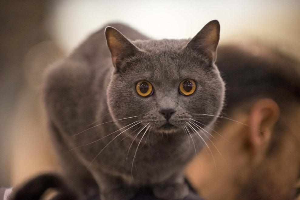 Alla Nuova fiera di Roma torna Supercat, la mostra dedicata ai gatti più belli del mondo