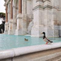 Roma deserta, le anatre sguazzano nel Fontanone del Gianicolo