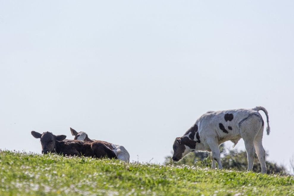 Mucche, conigli e cavalli: il parco della Caffarella torna ad essere selvaggio
