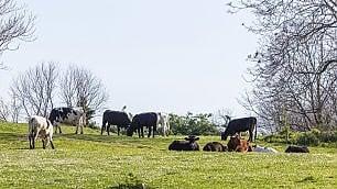 Mucche, conigli e cavalli: il parco della Caffarella torna  ad essere selvaggio   foto
