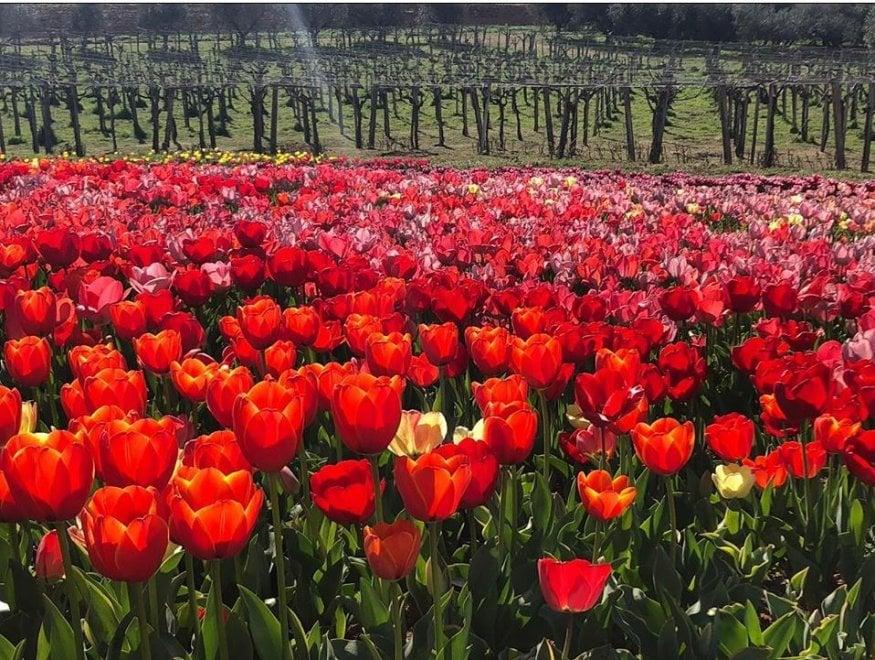 Coronavirus, una cascata di tulipani per l'omaggio alla Croce Rossa