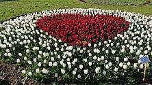 Una cascata di tulipani per la Croce Rossa