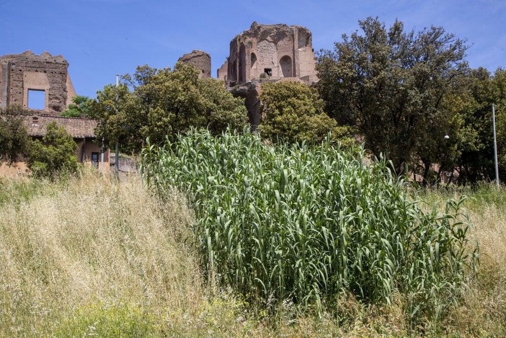Roma, Circo Massimo giungla urbana, l'erba alta è impenetrabile