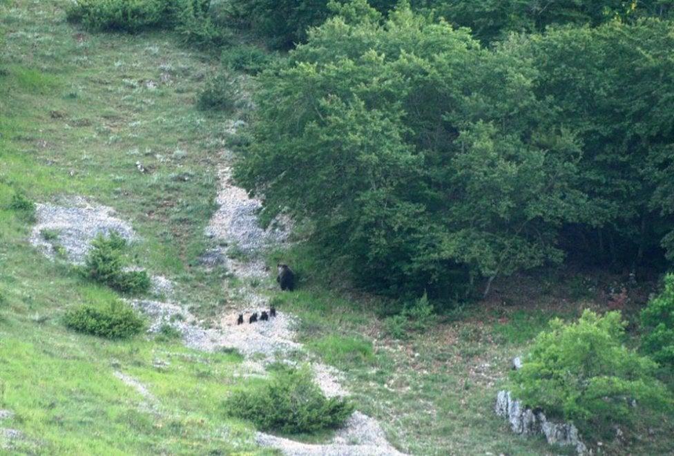 Mamma orsa con i suoi quattro cuccioli nel Parco nazionale d'Abruzzo