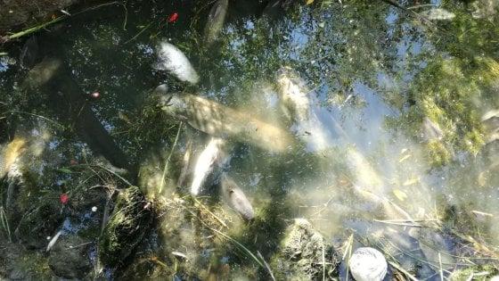 """Tevere, moria di pesci: """"Piogge forti o sversamenti tossici, presto sapremo le cause"""""""