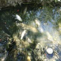 Tevere, moria di pesci: