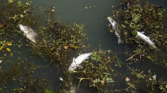"""Tevere, ipotesi detriti per la moria di pesci: """"Branchie ostruite"""""""