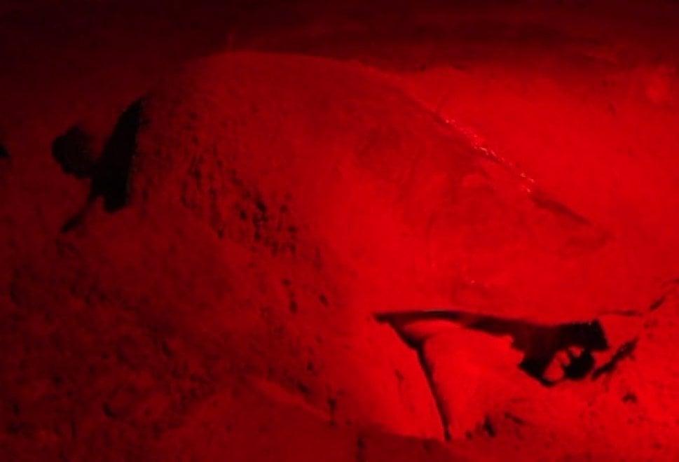 Tartaruga Caretta Caretta depone 90 uova sulla spiaggia di Torvaianica