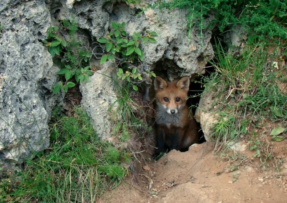 La volpe fa capolino dalla grotta: lo scatto nel parco dei Simbruini