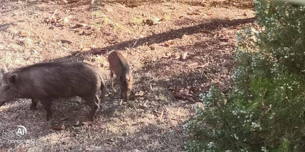 Roma, frecce di una balestra contro il cucciolo di cinghiale
