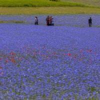 Norcia, a Castelluccio lo spettacolo della fioritura delle lenticchie