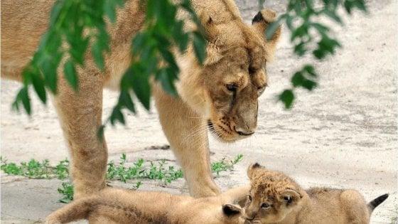 Aasha e Naisha: ecco i nomi scelti per le leoncine del Bioparco