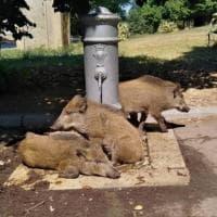 Roma, cinghiali al Torrino cercano refrigerio vicino al 'nasone'