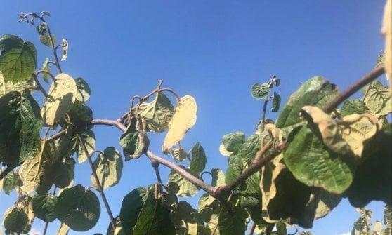 La misteriosa morìa dei kiwi che sta mettendo in ginocchio l'agricoltura pontina