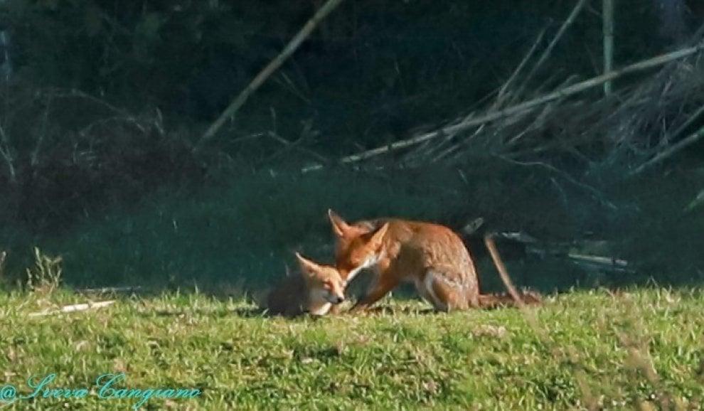 Roma, la volpe e il suo cucciolo si riposano al sole nel parco della Caffarella