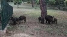 Cucciolata di cinghiali:  i vigili chiudono il parco