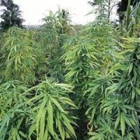 Torta alla marijuana al pranzo di Ferragosto, i commensali finiscono all'ospedale