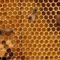 """Test del dna per selezionare le """"api massaie"""": tirano a lucido"""