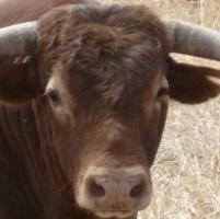 Allevatore ucciso a cornate da un toro