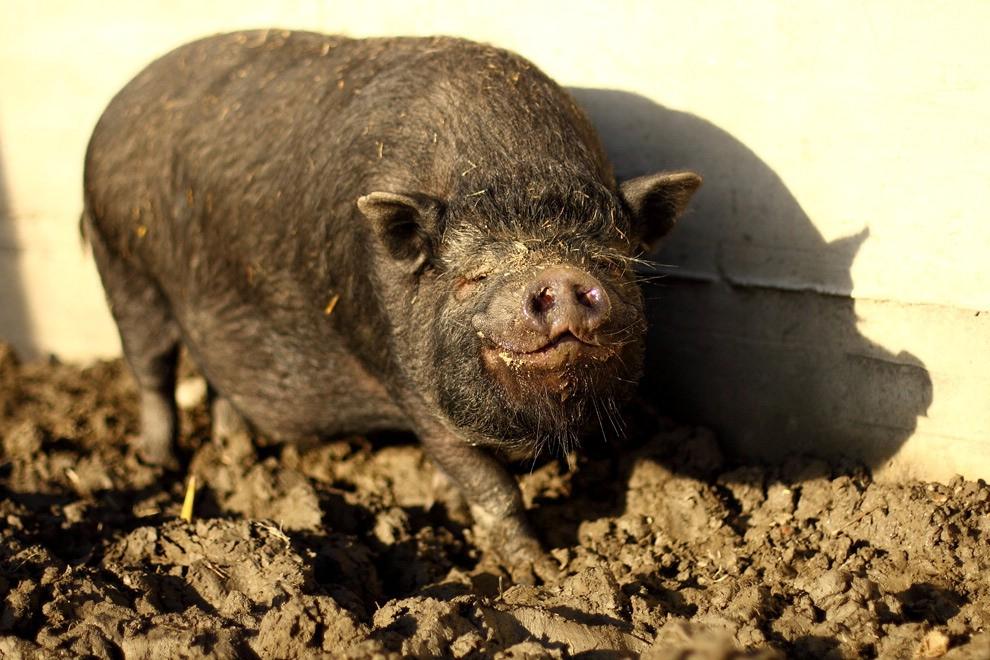 Nel paradiso dei maiali: dove i suini muoiono di vecchiaia