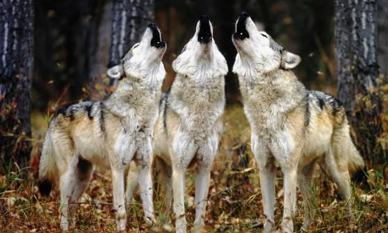 Porta fuori il cane e scopre un branco di lupi intorno al cortile