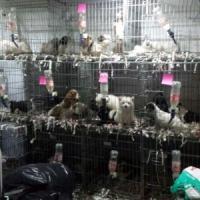 Dalla Slovacchia ammassati in un furgone, 61 cuccioli salvati dalla polizia