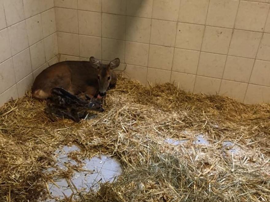 La prima poppata dei baby bambi