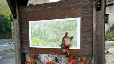 Cuneo, uccidono lupo e appendono testa  nella bacheca della comunità montana