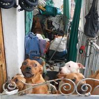 """Torino, già 800 richieste di adozione per i pitbull """"liberati"""" dai vigili urbani"""