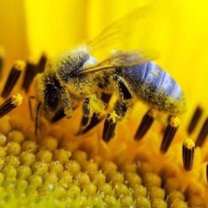 polline di api per la prostata