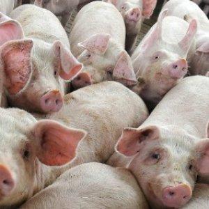 Tir carico di maiali si ribalta,  strage di animali