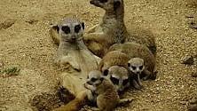 Nursery affollata al Bioparco Zoom: nascono lemuri, suricati e antilopi
