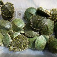 Ovada, in furgone con 5000 tartarughe ma senza documenti: denunciato