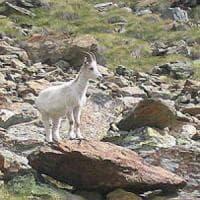Avvistato in Val d'Aosta uno stambecco bianco con un piccolo