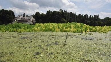 La superficie del Po ai Murazzi ricoperta di vegetazione come un rigoglioso prato  foto    Video.  Il fenomeno spiegato dall'esperta    di ALESSANDRO CONTALDO