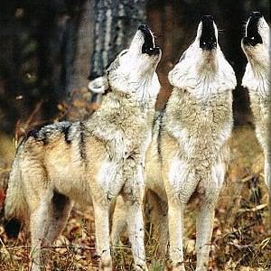 """""""Adottate un pastore"""": la provocazione di Coldiretti contro i lupi sulle Alpi"""