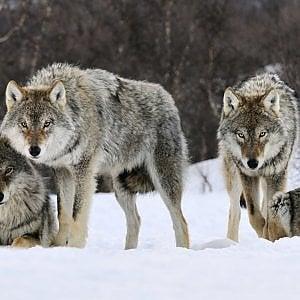 """Coldiretti: """"I lupi sono troppi, abbattiamone il 5 per cento come in Francia e Spagna"""""""